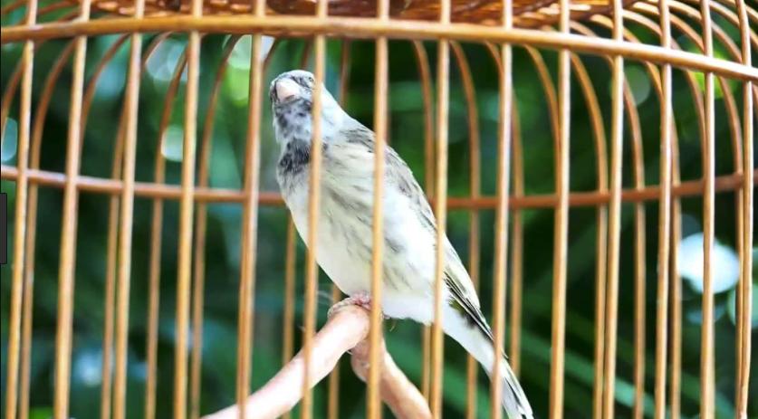 Burung-Blackthroat