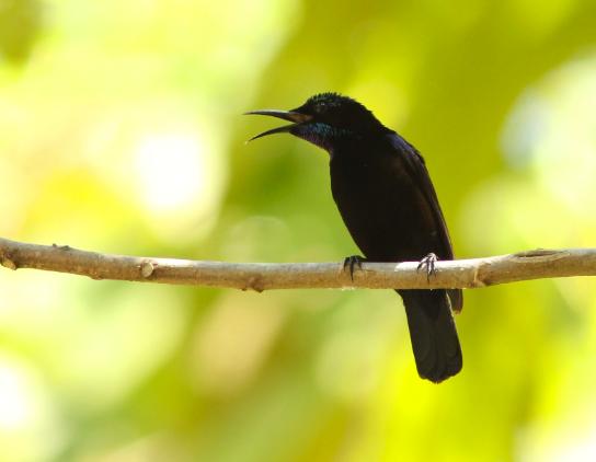 Burung-Kolibri-Ninja-(Konin)
