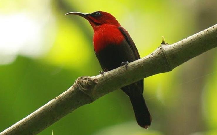 Burung-Kolibri-Raja