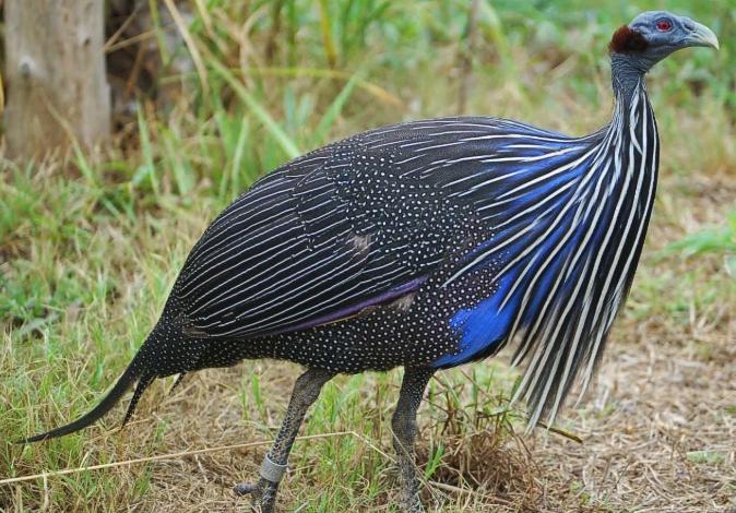 ayam-mutiara-hitam