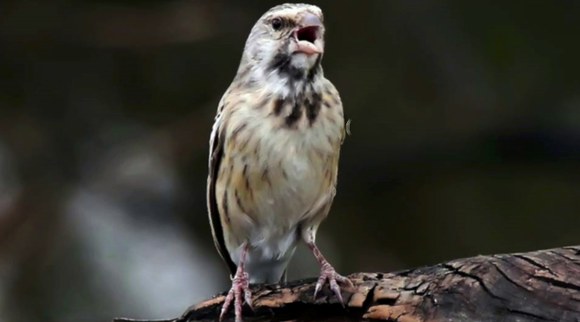 burung-blackthroat-botswana