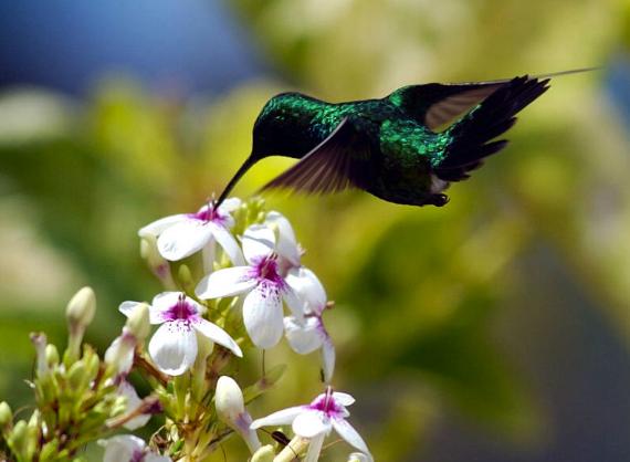 burung-kolibri-king-konin