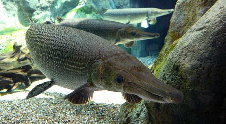 foto-ikan-aligator