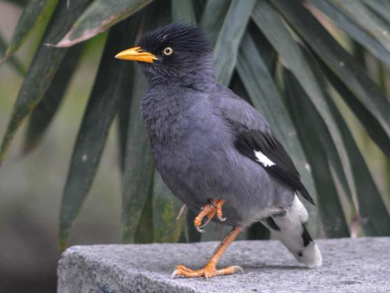 Info Burung Jalak Kebo Harga Lengkap 2021 Ciri Ciri Jenis Makanan