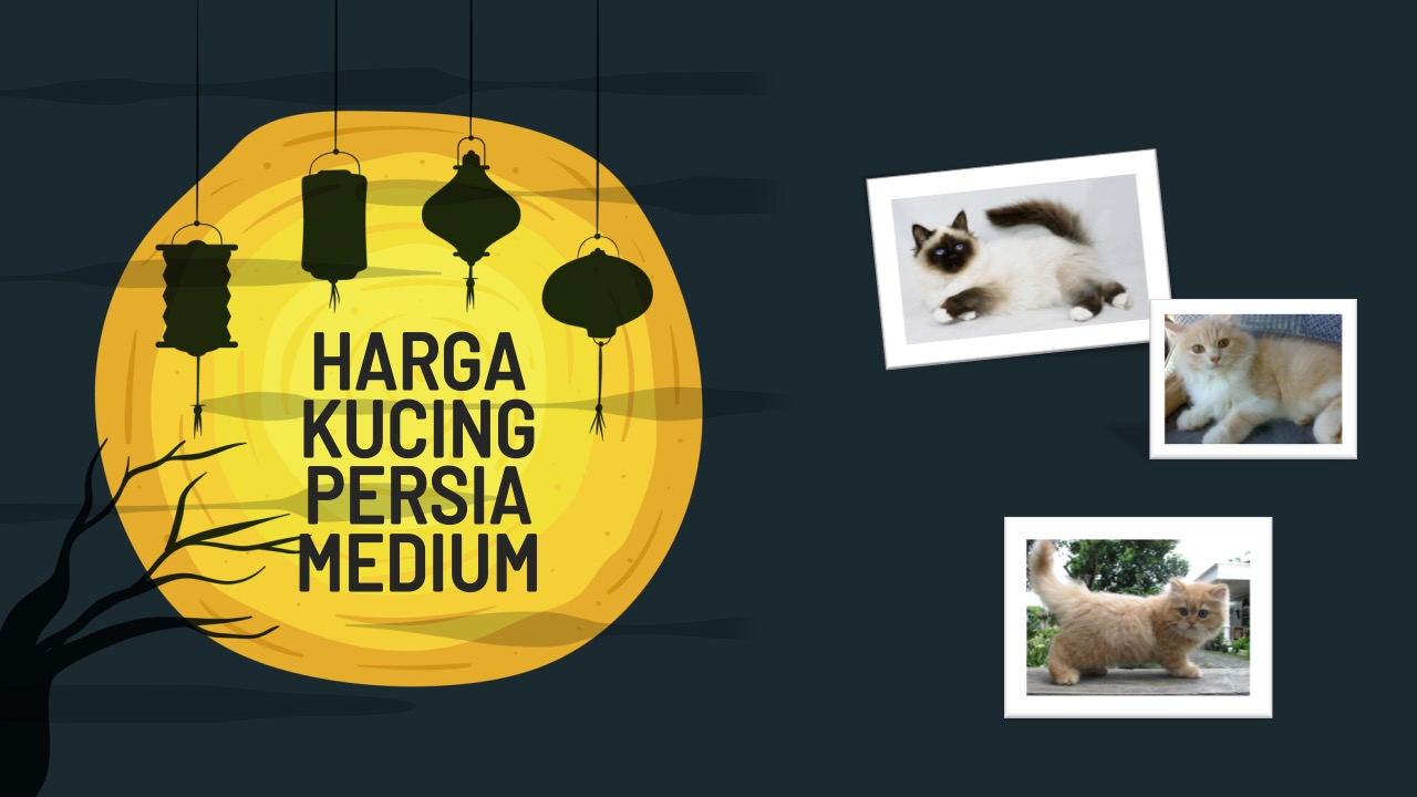harga-kucing-persia-medium