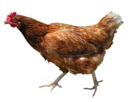 Ayam Petelur
