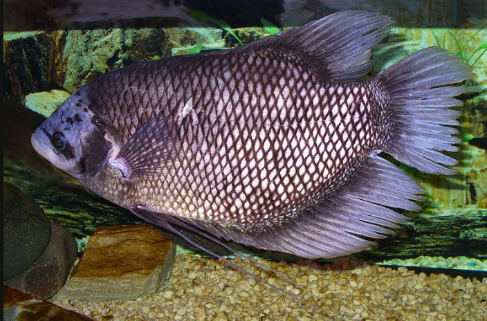 Ikan-Gurame-Bastar