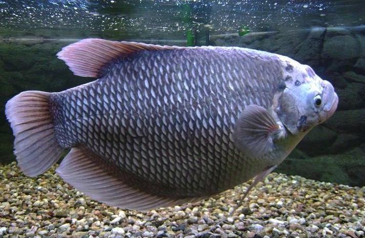 Ikan-Gurame-Jepun