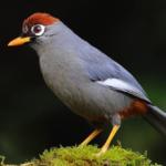 burung-poksay-mandarin