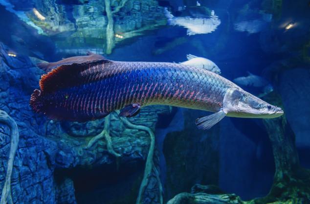 gambar-ikan-arapaima