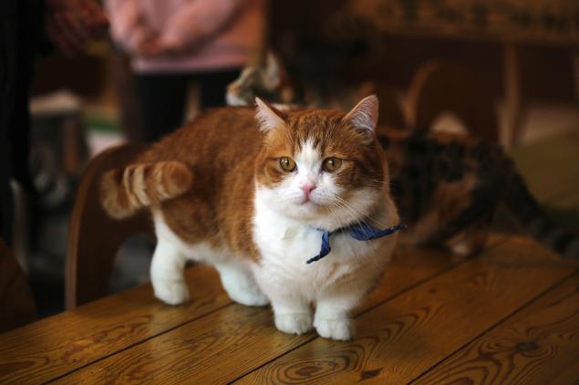 gambar-kucing-munchkin