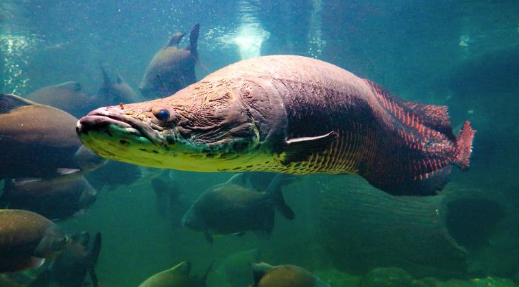 ikan-arapaima