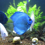 ikan-discus-Angel-Blue-Diamond