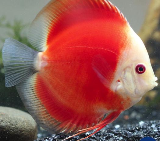 ikan-discus-Red-Marlboro