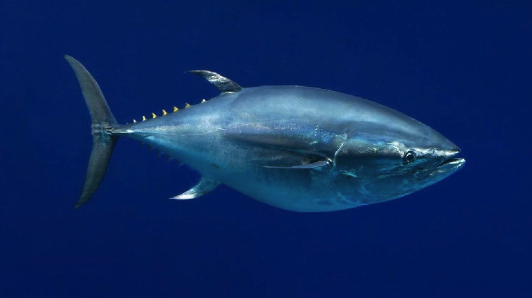 ikan-tuna-sirip-biru