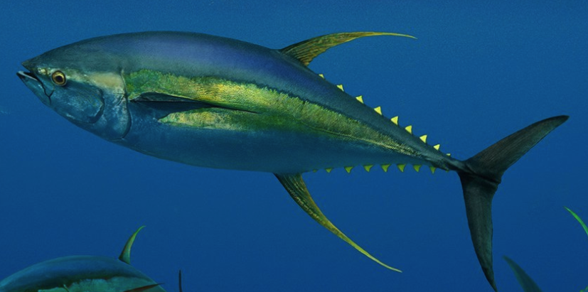 ikan-tuna-sirip-kuning