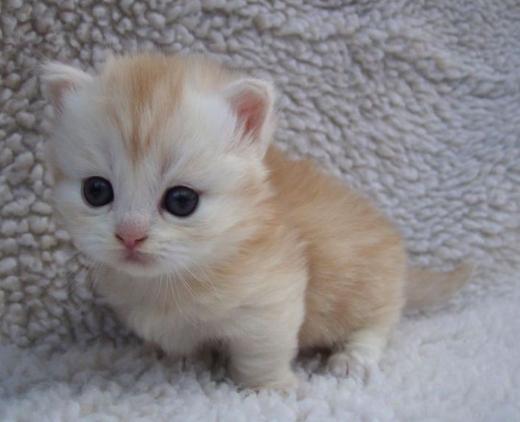 kucing-munchkin