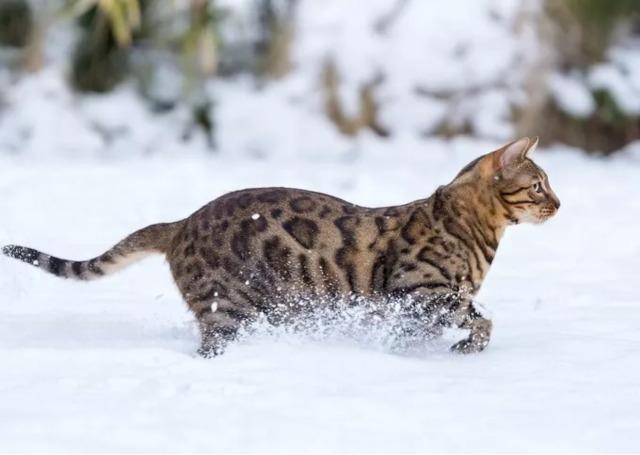 Kucing Bengal Berlarian di Salju