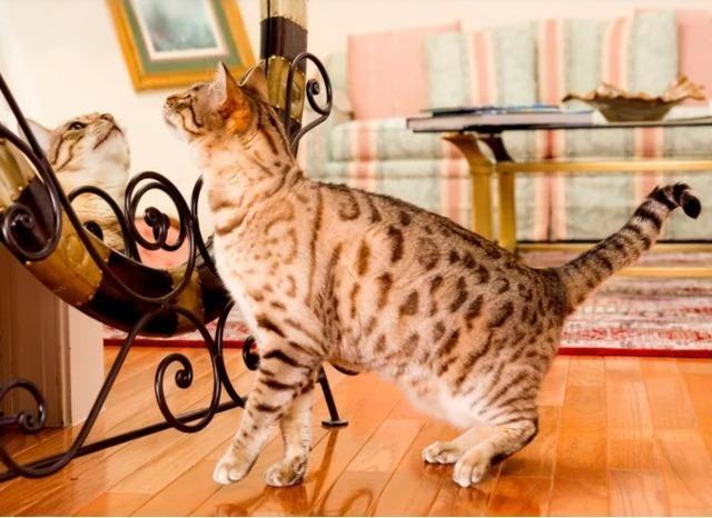 Kucing Bengal Aktif Bergerak