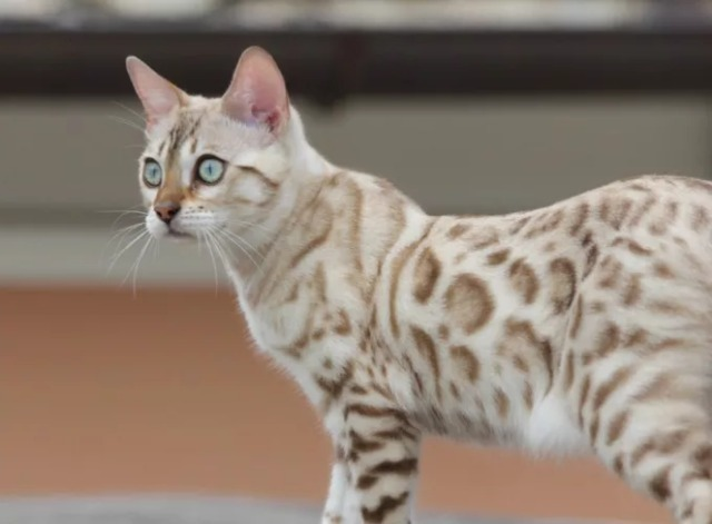 Kucing Bengal Belang Putih