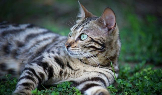 Kucing Bengal di Rumput