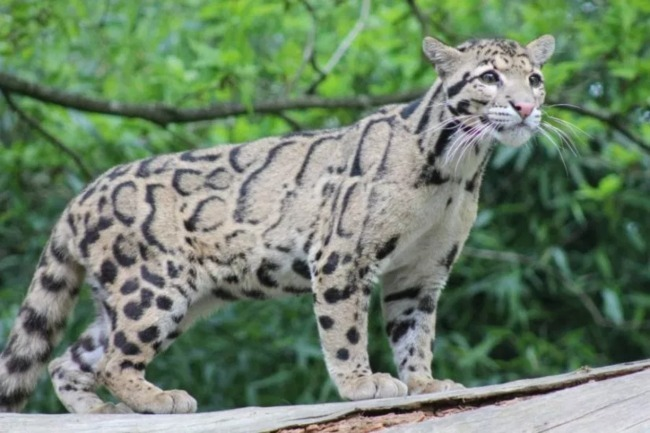 Kucing Dahan Benua
