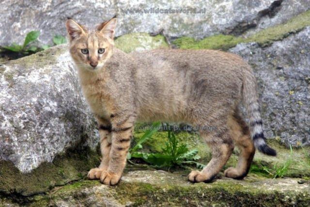Kucing Hutan di Alam