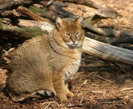 Kucing Hutan Obesitas