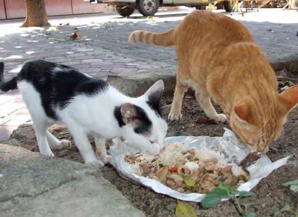 Kucing Kampung Makan Nasi