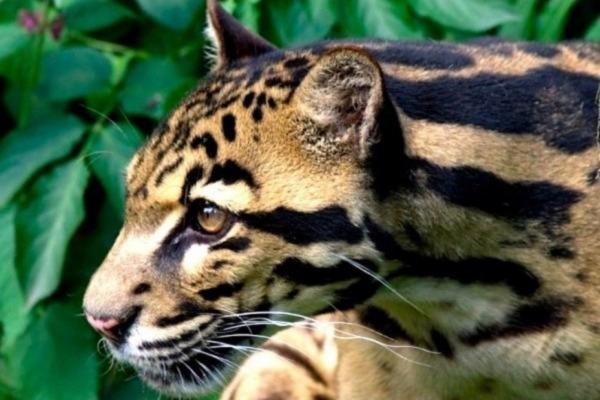 Kucing Dahan Kalimantan
