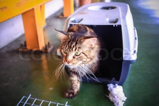 Kandang Kucing Maine Coon