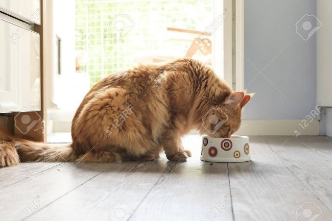 Kucing Maine Coon Makan
