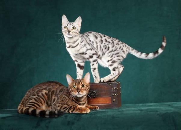 Kucing Bengal Coklat Putih