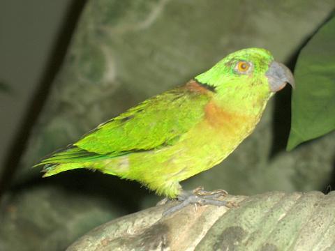 Black collared Lovebird