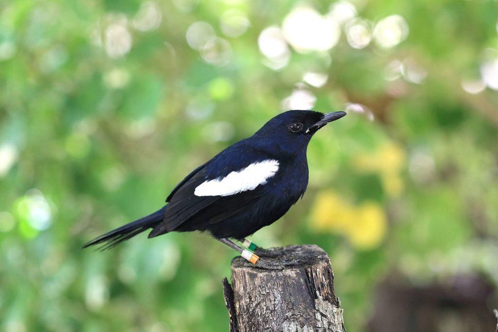 burung kacer hitam jawa