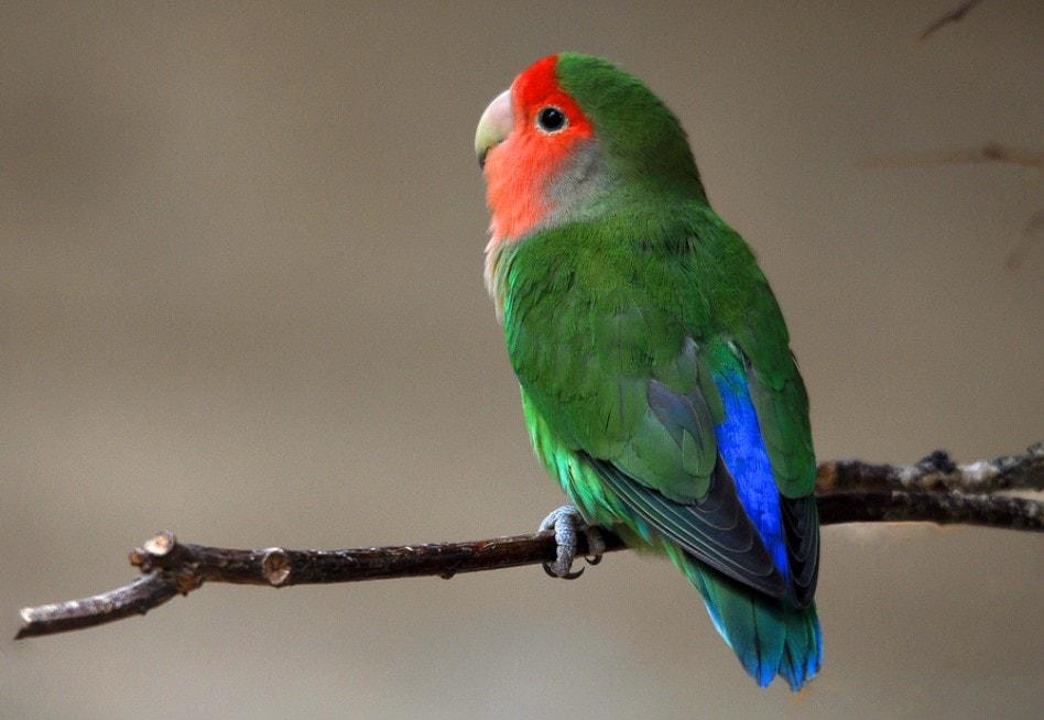 gambar burung labet abisinia