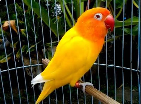 gambar burung labet lutino