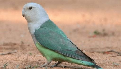 gambar burung labet madagascar