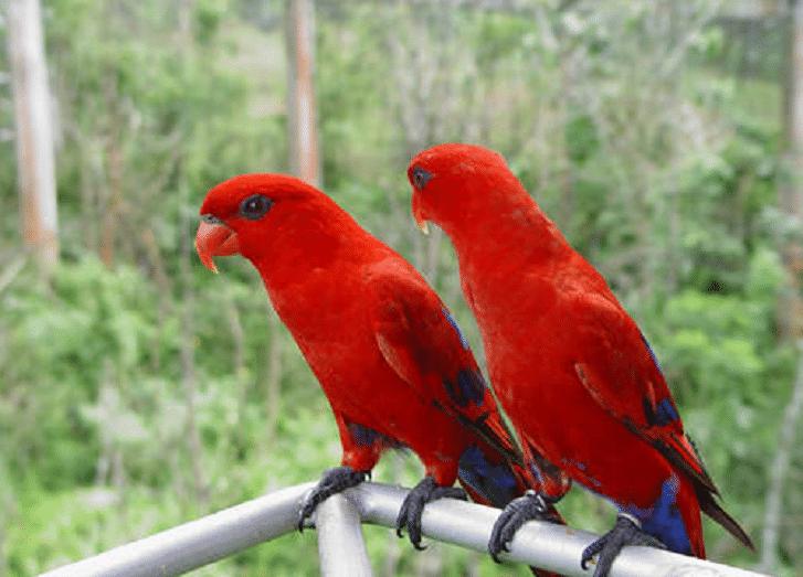 gambar burung labet merah