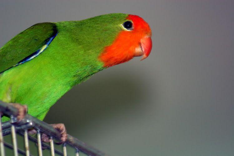 gambar burung labet muka merah