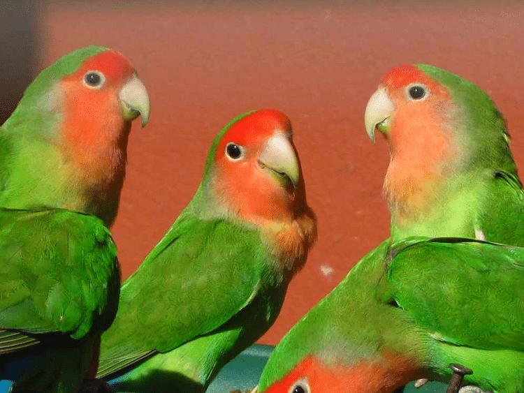 gambar burung labet muka salem