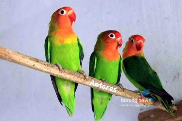 gambar burung labet nyasa
