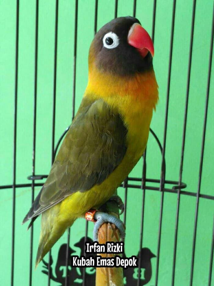 gambar burung labet olive