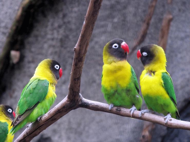 gambar burung labet topeng