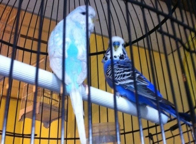 gambar burung parkit dalam kandang