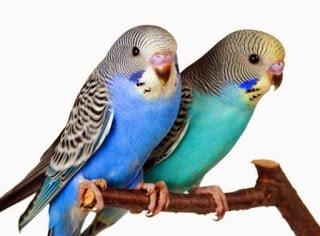 gambar burung parkit holland