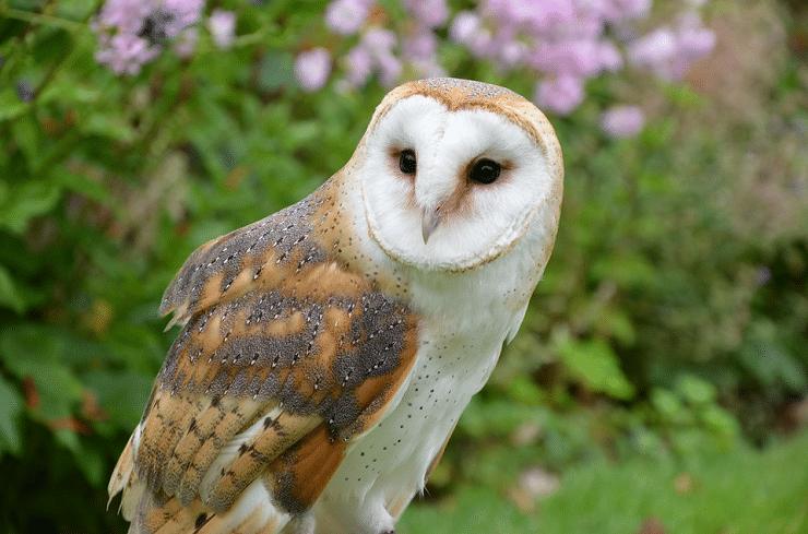 gambar burung serak jawa