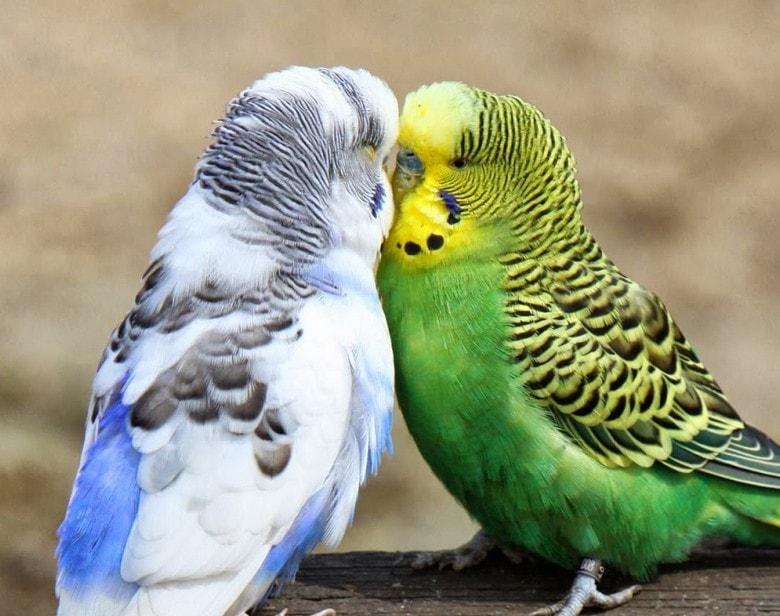 gambar pasangan burung parkit