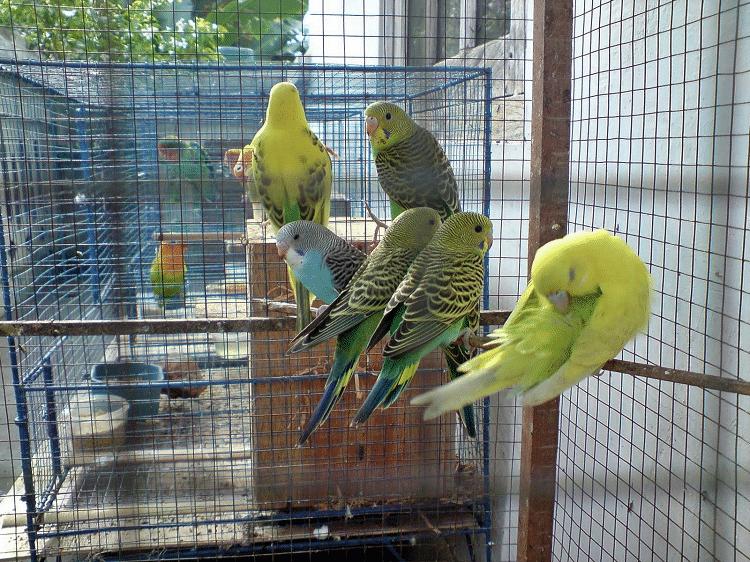 gambar peternakan burung parkit