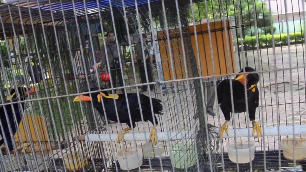 gambar ternak burung beo